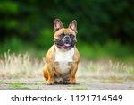 french bulldog outdoor | Shutterstock . vector #1121714549