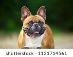 french bulldog outdoor | Shutterstock . vector #1121714561
