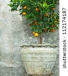 Tangerine Tree In Old Clay Pot  ...