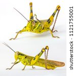 Small photo of Large Yellow and Green Cricket Grasshopper Caelifera Orthoptera Insecta