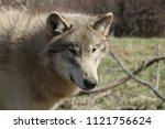 gray wolf staring forward | Shutterstock . vector #1121756624