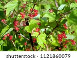 Wet Ripe Red Currant Berries O...