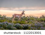 buck pronghorn antelope with... | Shutterstock . vector #1122013001
