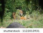 siberian tiger  panthera tigris ... | Shutterstock . vector #1122013931