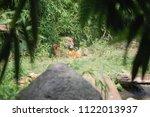 siberian tiger  panthera tigris ... | Shutterstock . vector #1122013937