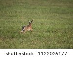 Stock photo a young hare runs over a mown meadow 1122026177