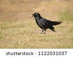 the australian raven  corvus... | Shutterstock . vector #1122031037