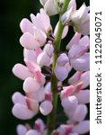 pink lupine the blossoming... | Shutterstock . vector #1122045071