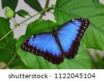 Stock photo blue morpho butterfly morpho peleides 1122045104
