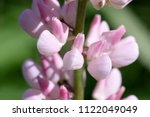 pink lupine the blossoming... | Shutterstock . vector #1122049049