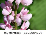 pink lupine the blossoming... | Shutterstock . vector #1122054329