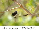 the willie  or willy  wagtail ... | Shutterstock . vector #1122062501