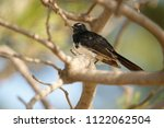 the willie  or willy  wagtail ... | Shutterstock . vector #1122062504