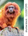 Golden Lion Tamarin Perched On...