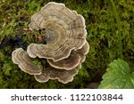 Many Zoned Polypore   Coriolus...