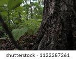 base of oak tree  close up.... | Shutterstock . vector #1122287261