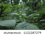 branch with green leaves  close ... | Shutterstock . vector #1122287279