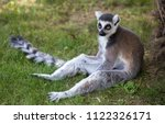 Lemur Isolated Sits On The...