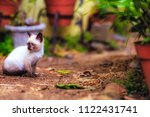 stray siamese cat or kitty... | Shutterstock . vector #1122431741