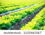 peanuts in the field  lush... | Shutterstock . vector #1122461567