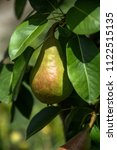 growing pears on a branch.pears ... | Shutterstock . vector #1122515135