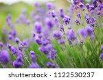 lavender flowers field. growing ... | Shutterstock . vector #1122530237