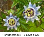 Blooming Blue Passion Flower