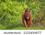 mother orangutan  orang utan ... | Shutterstock . vector #1122654077