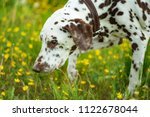 a white brown dalmatian dog on... | Shutterstock . vector #1122678044