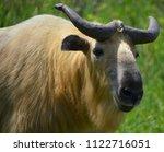 Sichuan Takin Or Tibetan Takin...
