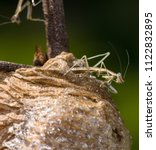 Small photo of Side view of a newly hatched baby Praying mantis standing on the top of its nest looking downward. In the background is a partial insect climbing down the twig that is attached to the egg case.