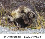 a porcupine scratches his neck... | Shutterstock . vector #1122899615