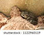the common toad asia toad in... | Shutterstock . vector #1122960119