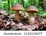 Two Edible Brown Mushrooms ...