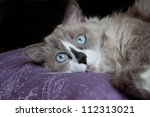 cat face close up | Shutterstock . vector #112313021