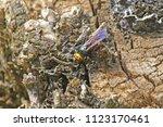 Mammoth Wasp Latin Megascolia...