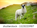 sheep marked with colorful dye...   Shutterstock . vector #1123223987