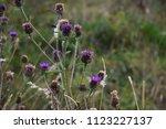 thistle in meadow | Shutterstock . vector #1123227137