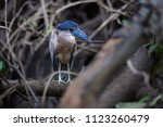 boat billed heron  cochlearius... | Shutterstock . vector #1123260479