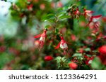 Fuchsia Flowers In The Garden...