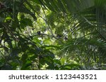 monkeys playing in the trees of ... | Shutterstock . vector #1123443521