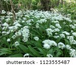 the valley of the garlic forest ...   Shutterstock . vector #1123555487