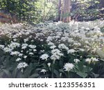 the valley of the garlic forest ...   Shutterstock . vector #1123556351