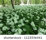 the valley of the garlic forest ...   Shutterstock . vector #1123556441