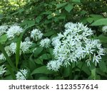 the valley of the garlic forest ...   Shutterstock . vector #1123557614