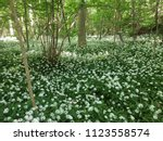 the valley of the garlic forest ...   Shutterstock . vector #1123558574