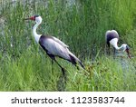 Pair of wattled cranes in tall grass marsh. One close to the camera and walking, one slightly farther bent and foraging for food. Taken at the International Crane Foundation (Wisconsin, USA).