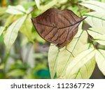 Close up of Orange oakleaf butterfly - stock photo