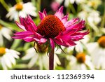 Purple Coneflower With White...