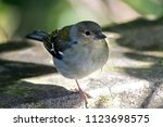 close up of the finch in front...   Shutterstock . vector #1123698575